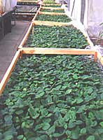 Acclimatization of plantlets in the greenhouse