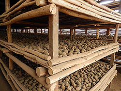 Diffused Light Store (DLS) for potato seed tubers in Ethiopia